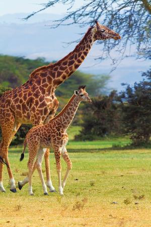 naivasha: Giraffes in Naivasha park