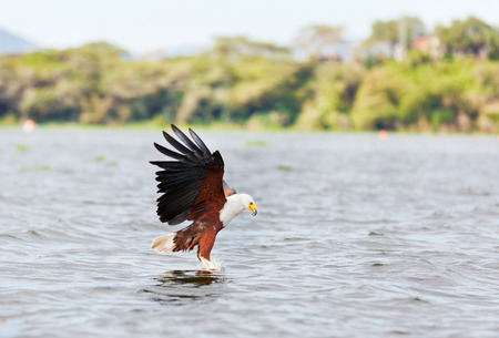 lake naivasha: Fish Eagle carrying catched fish in its feet