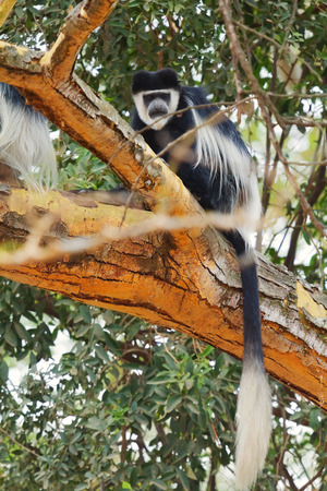 nakuru: Colobus monkey, Nakuru Lake, Kenya Stock Photo