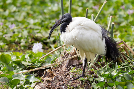 naivasha: Ibis in the grass near Naivasha Lake, Kenya