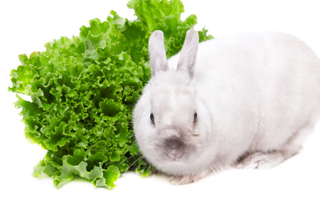 salade verte: White rabbit eating green salad isolated on white background