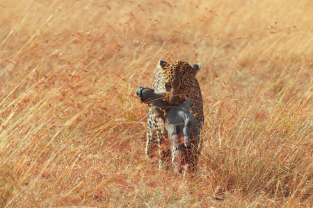 leopard: Female leopard walking in grass and carrying its pray in its mouth - young baby warthog, Masai Mara, Kenya Stock Photo