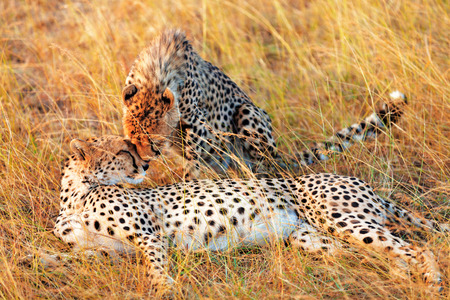 Two cheetahs lying in grass having a rest after eating in Masai Mara, Kenya photo