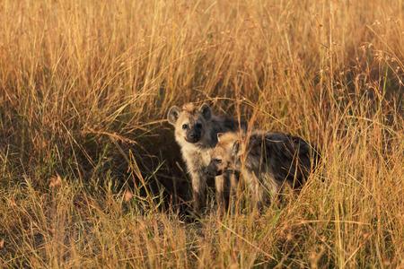 hienas: Hienas bebé apenas salen de su agujero, Masai Mara