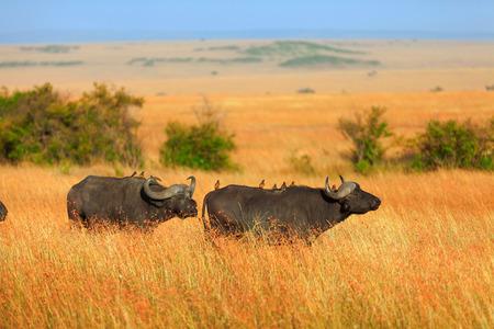 masai mara: Buffalos in Masai Mara in Kenya during the dry season Stock Photo