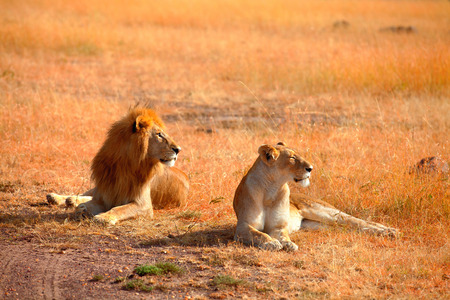 Mating lions in Masai Mara, Kenya during the dry season