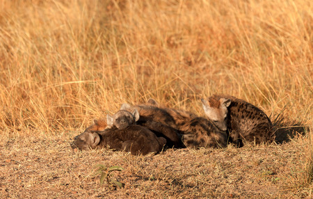 Babies spotted hyena cubs just come out from their hole early in the morning, sleeping on over another, Masai Mara photo