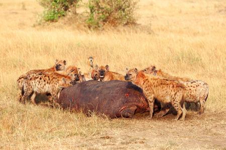 masai mara: Hyenas eating prey, Masai Mara Stock Photo