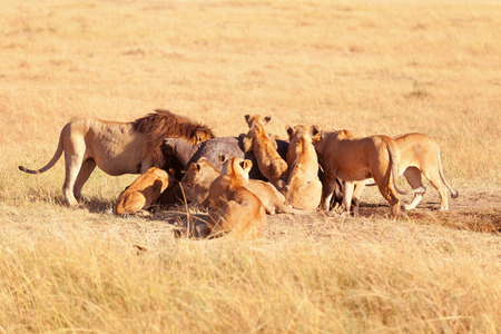 masai mara: Pride of lions eating a pray in Masai Mara, Kenya