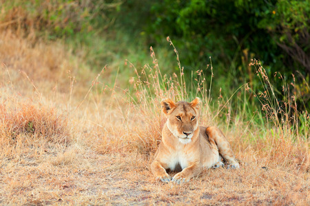 masai mara: Female lion sitting in the grass in Masai Mara, Kenya