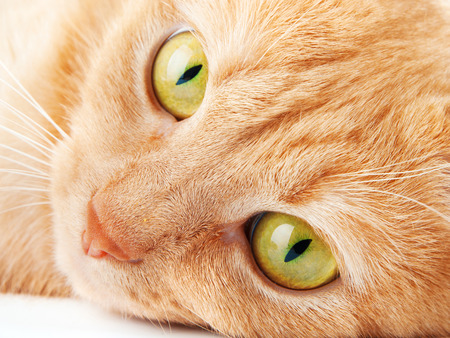 looking aside: Redhaired cat isolated on white background, looking aside