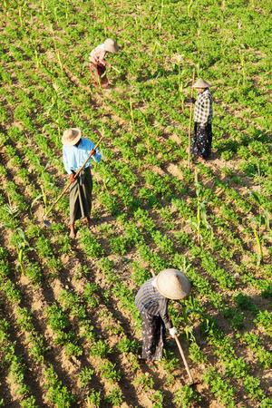 fullframe: Amarapura, Myanmar - February 28, 2011 : Four burmese people gardening beans and peas farm in the morning near U Bein bridge in Amarapura [description:]Field of beans and peas with four burmese gardeners Editorial