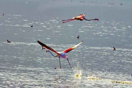 Flamingo near Bogoria Lake, Kenya photo