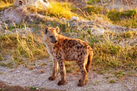 hienas: Hiena joven acaba de salir de su agujero en la madrugada, Masai Mara