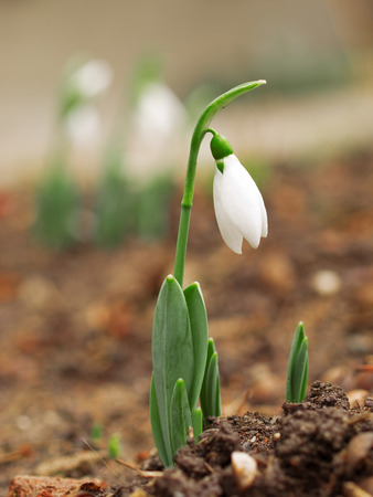 sundrops: Single snowdrop in front of a small cluster of sundrops Stock Photo