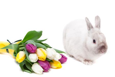 tulips isolated on white background: White rabbit with tulips isolated on white background Stock Photo