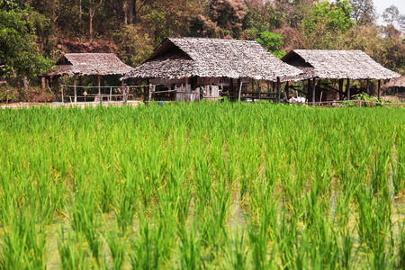 fullframe: Field of rice plant with houses in Thailand