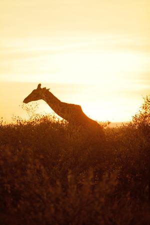masai mara: Giraffe silhouette early in the morning in Masai Mara, Kenya during the dry season Stock Photo