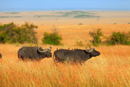 masai mara: Buffalos in Masai Mara in Kenya during the dry season Stock Photo