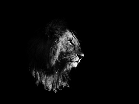 Lion black and white isolated on black background