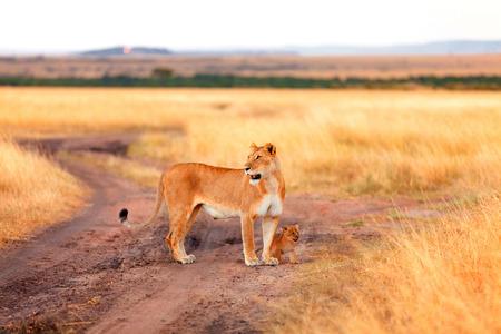 cubs: Female lion with cubs in Masai Mara, Kenya