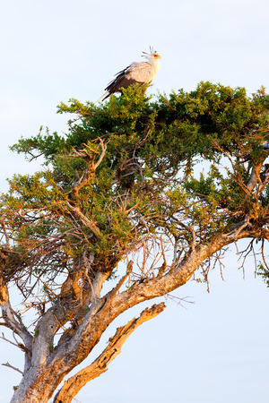 masai mara: Secretary bird on a tree in Masai Mara, Kenya Stock Photo