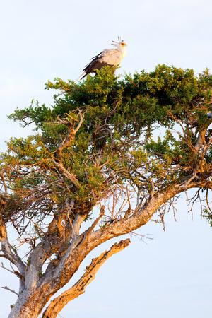 masai mara: Secretary bird on a tree in Masai Mara, Kenya Stock Photo