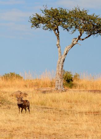 masai mara: Single warthog in the grass, Masai Mara, Kenya