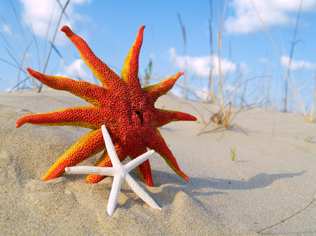 aquatic reptile: Starfishes on the sand, photographed with funny angle and shallow depth of field Stock Photo
