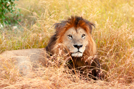 masai mara: Male lion lying in the grass at sunset in Masai Mara, Kenya