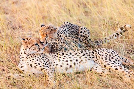 masai mara: Two cheetahs lying in grass having a rest after eating in Masai Mara, Kenya Stock Photo