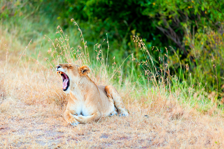 masai mara: Female lion sitting in the grass and yawning in Masai Mara, Kenya