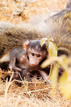 baboon: Baby baboon sucking, Kenya