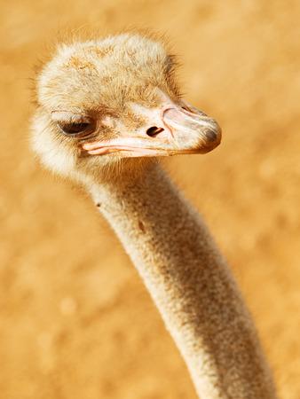 ostrich: Avestruz de cerca