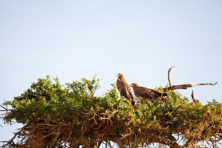 tawny: Tawny Eagle nesting on a tree, Masai Mara Stock Photo
