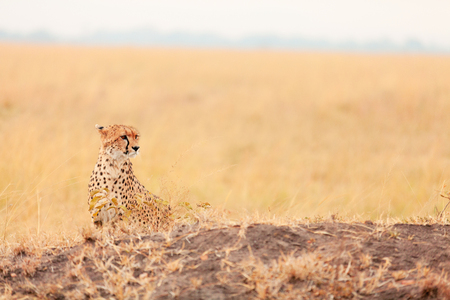 masai mara: Male cheetah sitting in grass and looking for its pray in Masai Mara, Kenya Stock Photo