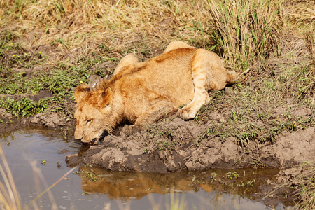 masai mara: Young lion drinking water, Masai Mara