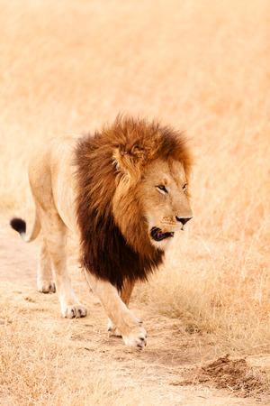 prowling: Male lion walking in the grass at sunset in Masai Mara, Kenya
