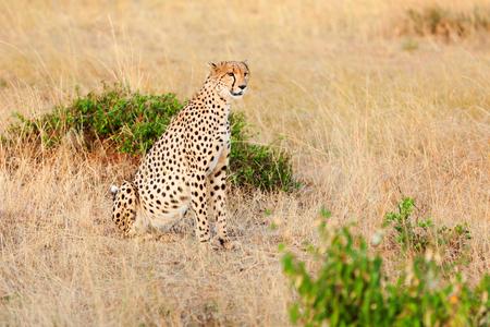 killed: Male cheetah sitting in grass near a killed gazelle in Masai Mara, Kenya