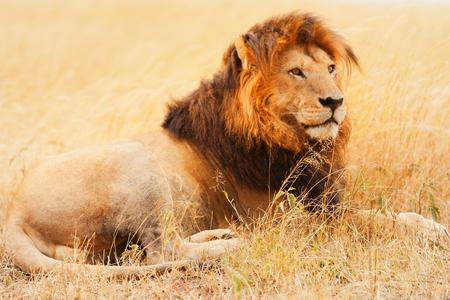 leones: Hombre león acostado en el pasto al atardecer en Masai Mara, Kenia
