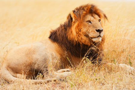 Male lion lying in the grass at sunset in Masai Mara, Kenya