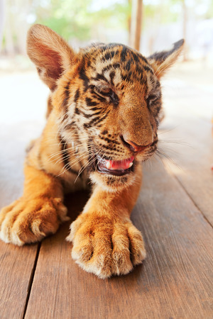 tigre bebe: Tigre de beb� en Tiger Temple cerca de Bangkok en Tailandia