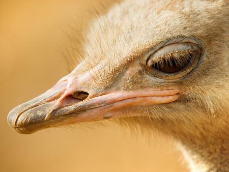 an ostrich: Ostrich close up Stock Photo