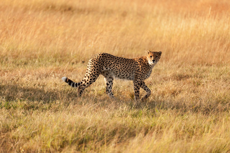 masai mara: Male cheetah walking in grass and looking for its pray in Masai Mara, Kenya Stock Photo