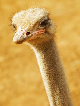avestruz: Avestruz de cerca
