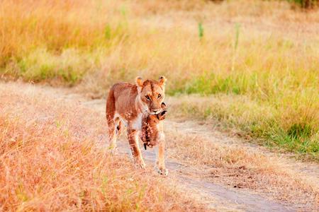 masai mara: Female lion carrying a cup in her mouth, Masai Mara in Kenya