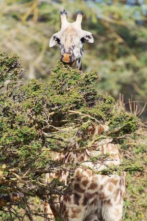 naivasha: Single Giraffe in Naivasha park eating green leaves Stock Photo