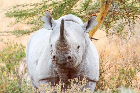nakuru: Black rhino in Nakuru Park in Kenya during the dry season