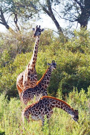 masai mara: Giraffes eating green leaves near a river in Masai Mara, Kenya during the dry season Stock Photo