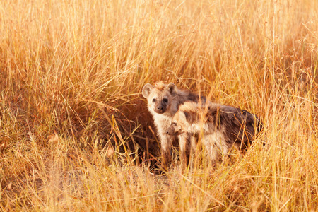 iene: Baby hyenas just come out from their hole, Masai Mara
